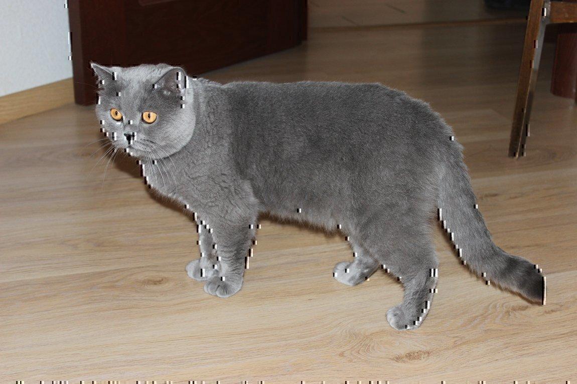 пойдет, шотландский прямоухий кот фото серый можете