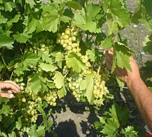 Продам 17 га виноградников в Леовском р-не