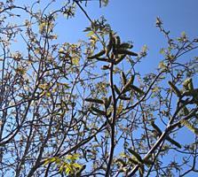 Сад грецкого ореха