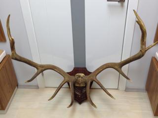 Продам декоративные рога оленя благородного (марала).