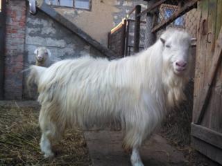 Породистый племенной козел.