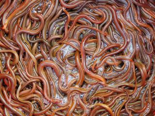 Дождевые-земляные черви и косметология для тех кому это необходимо