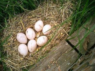 Куплю инкубационное яйцо павлина или молодняк