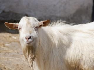 Породистые козлы приглашают для вязки козочек