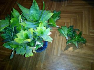 Сансевиерия (Тещин Язык) комнатное и офисное растение с горшком
