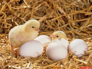 Принимаем яйца на инкубацию в г. Тирасполе. с 1 марта 2020года!!