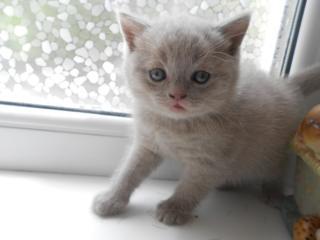 Котята породы scottish fold и scottish straight
