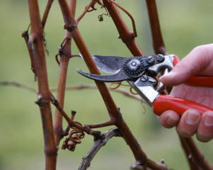Качественная обрезка винограда, деревьев и кустарников (недорого).