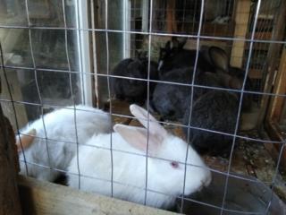 Продам кроликов возраст от 1,5 до 6 месяцев.