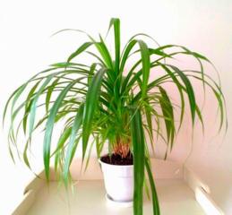 Панданус, шикарное растение