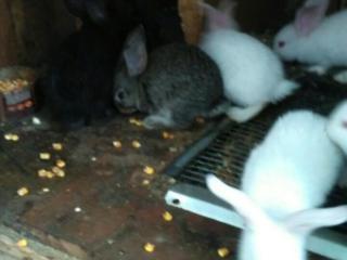 Продаются крольчата