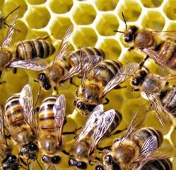 Продам улики с пчёлами.