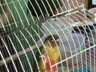 Бронь попугая Пиррура Буроухая