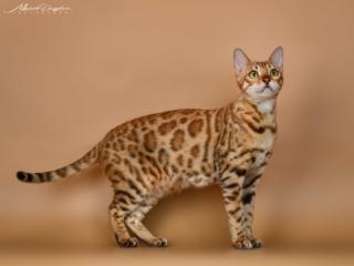 Бенгальский котенок от чемпионов WCF