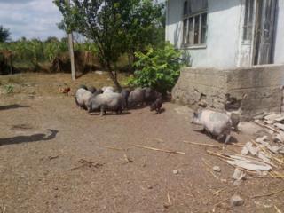 Продаются вьетнамские свиньи.