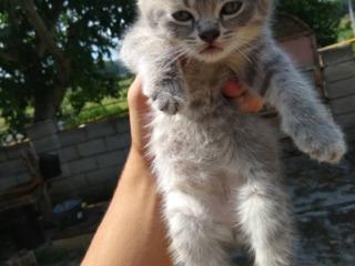 Британские котята от клубного кота!