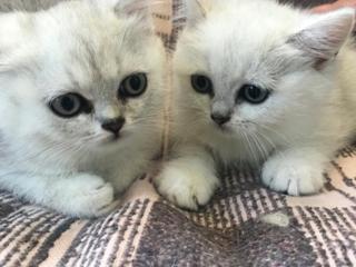 Суперные котята шиншиллы