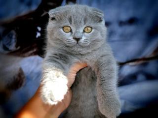 Чистых кровей шотландские котята (scottish fold) от элитных родителей