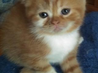 Шотландские котята. Цена договорная.