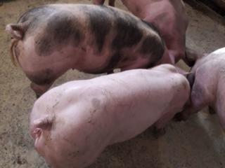 Продам Племенных Поросят 1.5-2 месяца и Супоросных свиноматок (мясная)