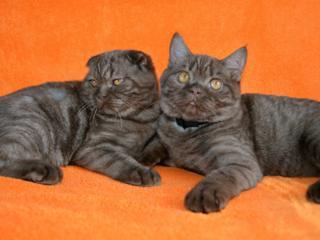 Чистых кровей шотландские котята (scottish fold и Scottish Straight)
