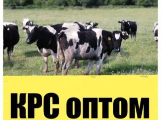 распродажа стада коров по оптовым ценам!!!!