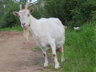 Продам 9 дойных, котных коз.