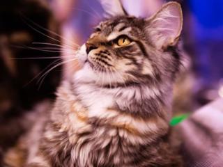 Котята Maine Coon питомник Kato-Gardanto