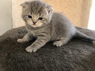 Резерв шотландских котят от родителей с родословными