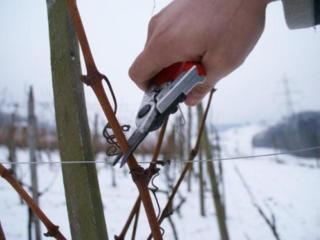Качественная обрезка винограда