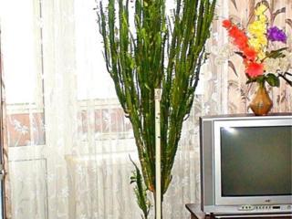 Продаю комнатное растение - Молочай