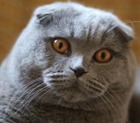 Вязка с шотландским вислоухим котом, с родословной!
