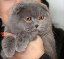 Племенной шотландский вислоухий кот + котята на продажу!