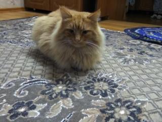 """Кот """"Рыжик"""" ищет новый дом"""