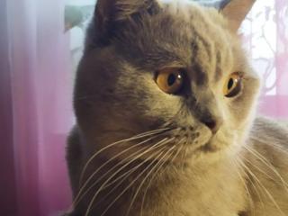 Шотландский прямоухий кот приглашает на вязку вислоухих кошечек
