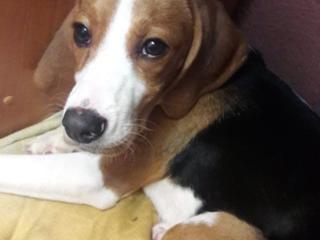 Продам собаку породы Бигль