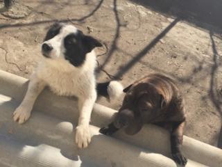 Подарю собак, чёрная сука примерно 6-7месяцев шарпей, бело-чёрная 8-9