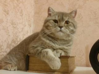 Шотландский котик приглашает на вязку.