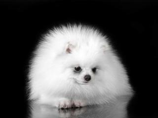 """Померанский шпиц тип """"мишка"""" супер мини размера белоснежного окраса"""