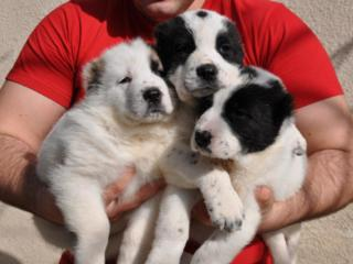 Крупные щенки Среднеазиатской овчарки! С документами!