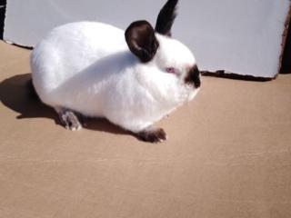 Продам калифорнийских кроликов, бабочка