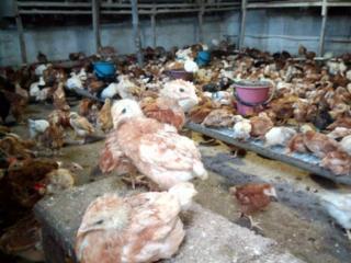 Продам домашних цыплят г. Слободзея возраст от 2 месяцев.