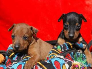 Продаются щенки цверг-пинчера (мини добермана)