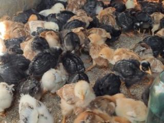 Продам цыплят 3 недели!