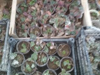 Клубника садовая ремонтантная