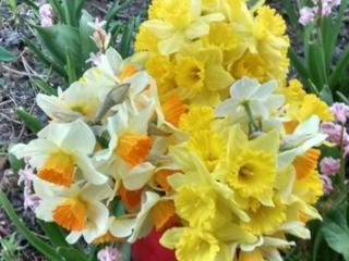Продам цветы, луковицы нарциссов, гиацинтов, алоэ, кактусы.