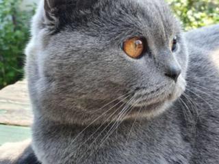 Британский кот ищет невесту