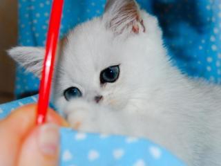 Британский котик серебристая шиншилла