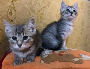 В дар - ласковые очаровательные котята 1,5 месяца / мальчик и девочка