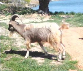 6 козликов и 2 полуторагодовалых козла